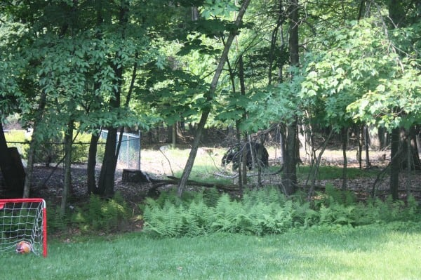 Our Morning Learning Adventure:A blackbear walking in our backyard