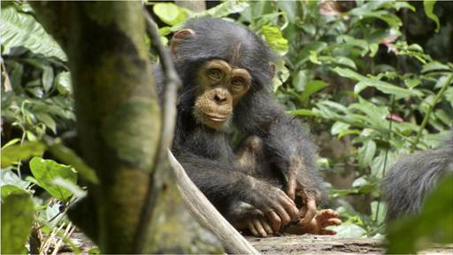 """{Review} Disney Nature Chimpanzee Movie…. Heart touching, emotion filled, amazing movie…If you are skeptical on if it is your """"type of movie"""" then you want to see it!"""