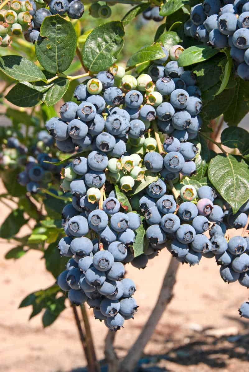 Bunch of blueberries on a bush