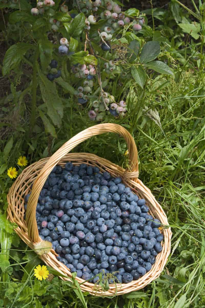 Basket of fresh picked blueberries