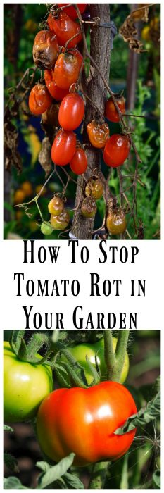 How To Stop Tomato Rot In Your Garden Midgetmomma
