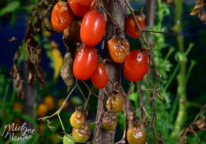 How To Stop Tomato Rot in a Garden