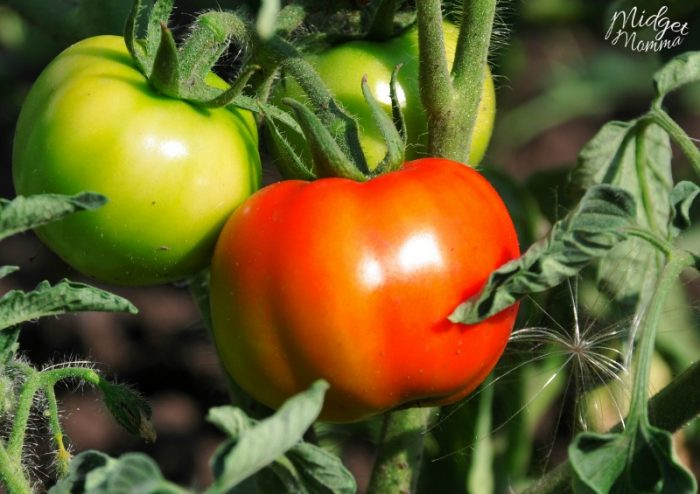 How To Stop Tomato Rot in Your Garden