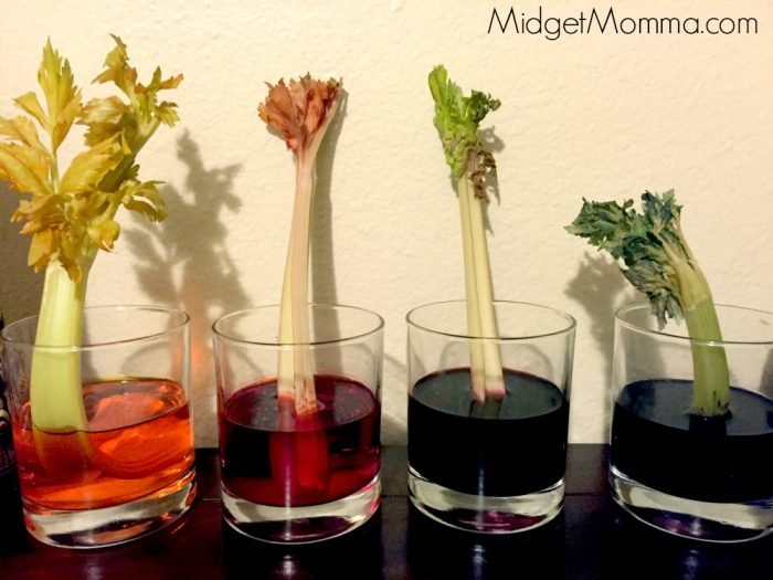 how plants drink water celery science experiment  u2022 midgetmomma