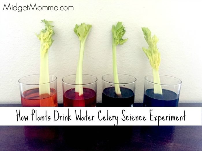 How Plants Drink Water Celery Science Experiment • MidgetMomma