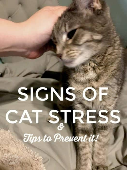 Signs Of Cat Stress Amp Tips To Help Prevent It Midgetmomma